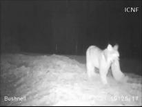 """Ao início da noite Jacarandá prepara-se para """"jantar"""" tranquilamente um coelho acabado de caçar"""